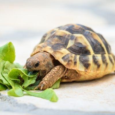 cruzapet-pet-match-mate-finder-turtle